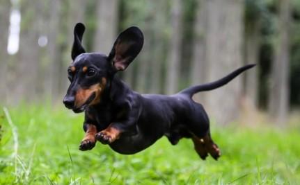 Ernia del disco nel cane: se il cane non cammina più!