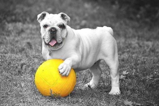 bulldog inglese soggetto a BAOS che gioca con la palla