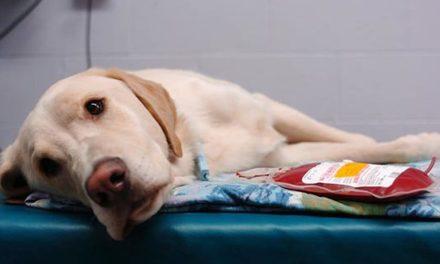 Emoaddome nel cane: riconoscere i sintomi
