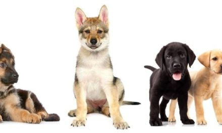 Displasia dell'anca nel cane. Cosa fare?