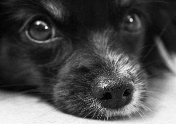 anemia emolitica immunomediata nel cane