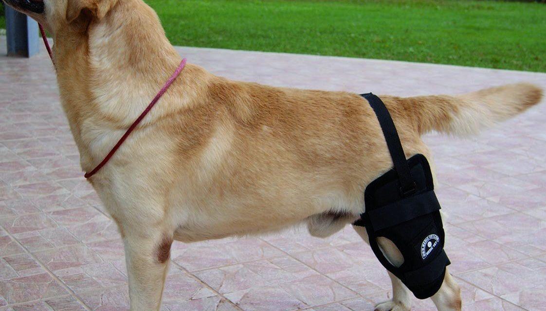 Rottura del crociato nel cane: sintomi e terapia
