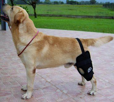 rottura del crociato nel cane
