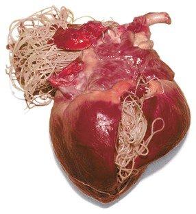 filariosi cardiaca