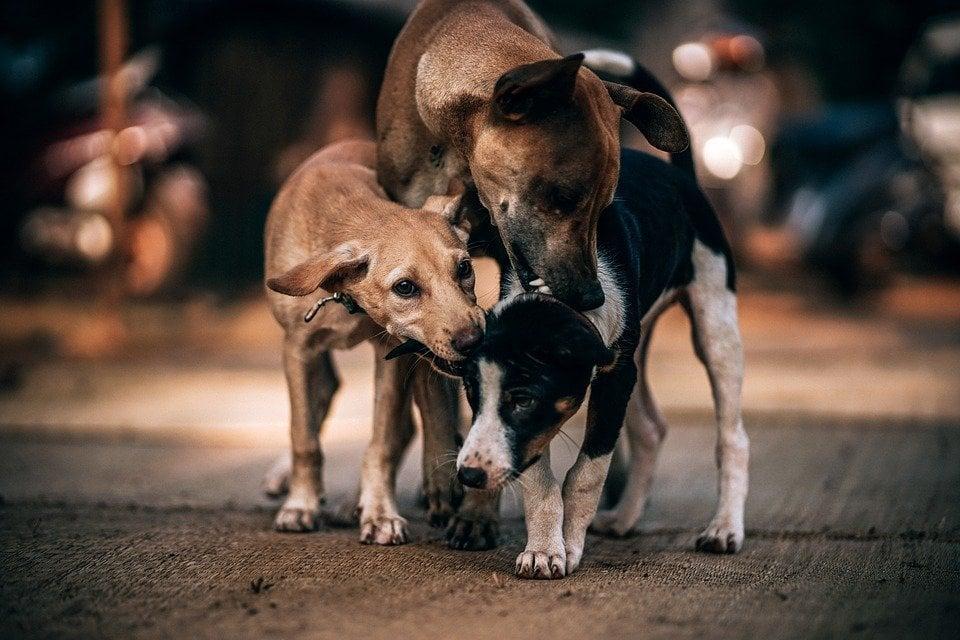 nelle lotte tra cani è facile avere una ferita da morso
