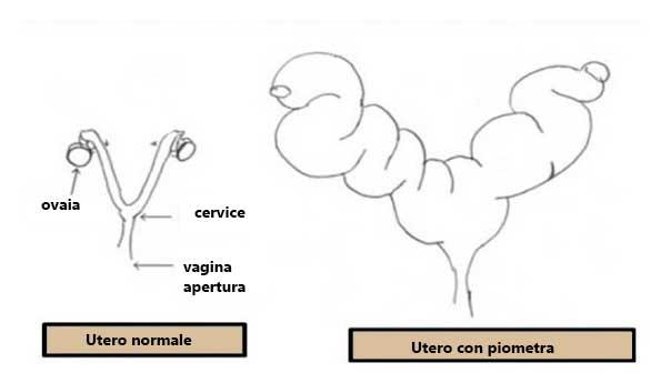 disegno di piometra a confronto con un utero noemale
