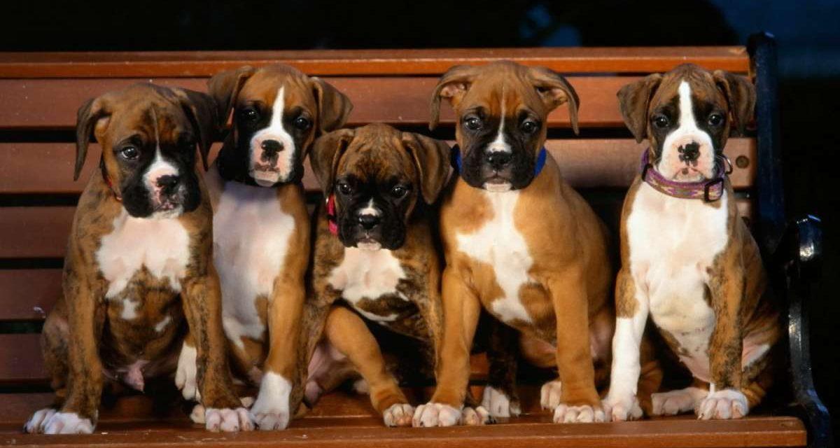 Stenosi subaortica nel cane: si può curare?