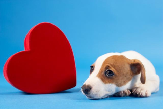 stenosi polmonare nel cucciolo