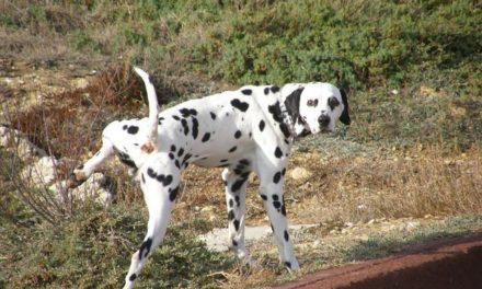 Calcoli vescicali nel cane e nel gatto: l'ostruzione uretrale.