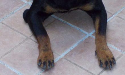 Igroma o borsite del gomito nel cane
