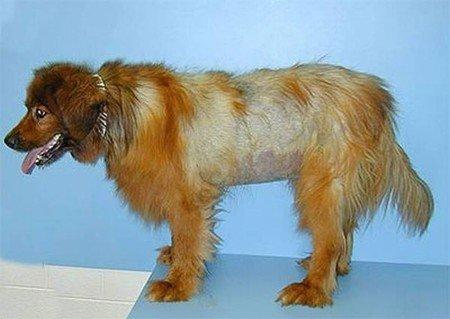 ipotiroidismo nel cane