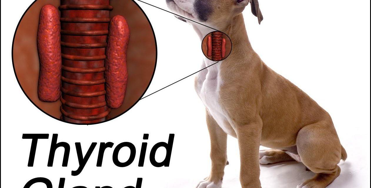 Ipotiroidismo nel cane: sintomi e terapia.