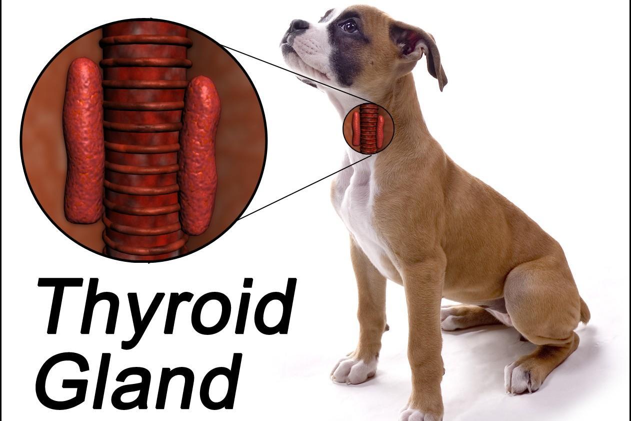 Ipotiroidismo nel cane: sintomi e cura!