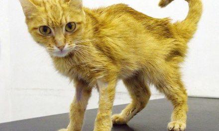 Insufficienza renale cronica nel cane e nel gatto.