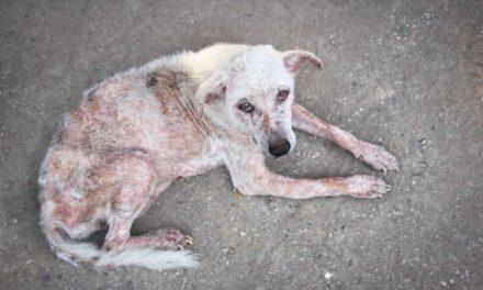 Rogna del cane: sintomi, trasmissione e cura.