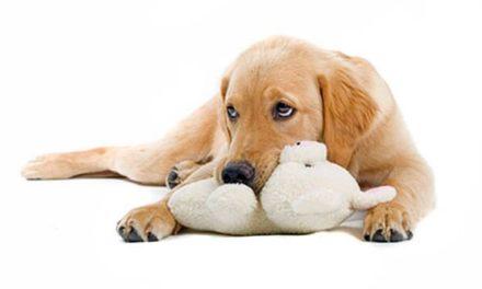 Gravidanza isterica nel cane: cause e sintomi.