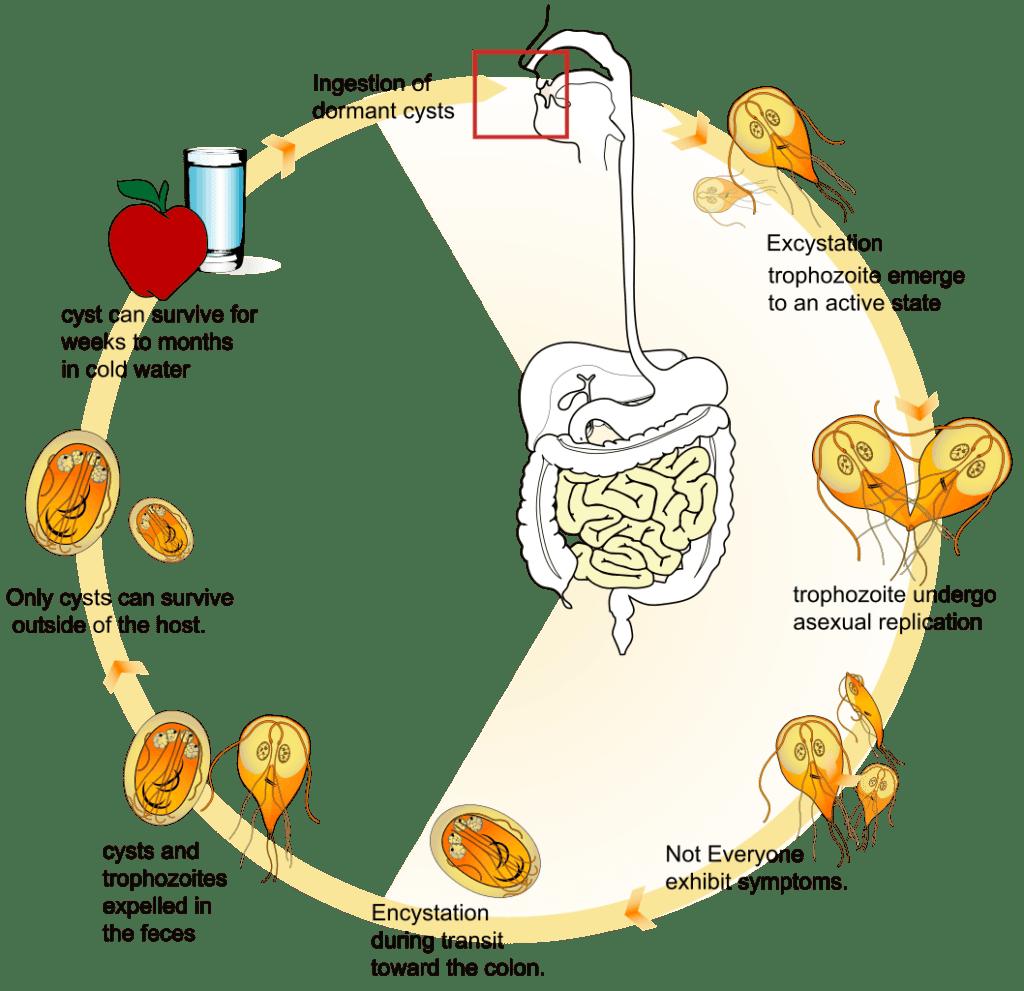 ciclo della giardia