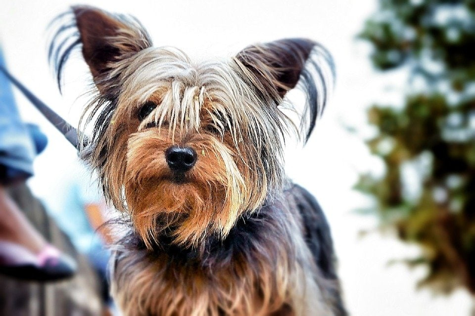 yorkshire terrier razza predisposta allo shunt
