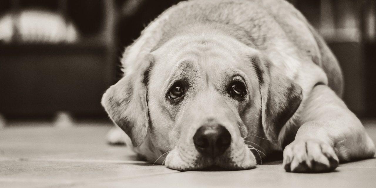 Artrosi nel cane: il dolore articolare.