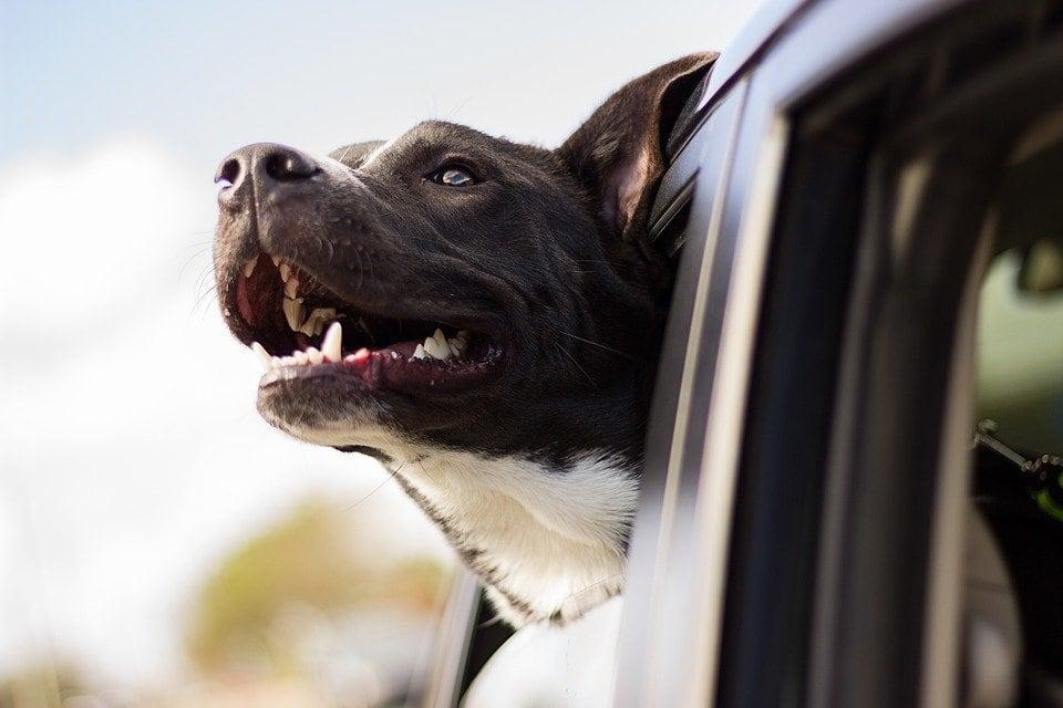 Mal d'auto nel cane? Strategie da provare….