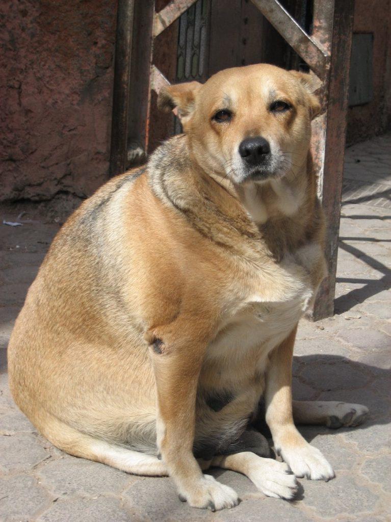 invecchiamento nel cane: occhio al peso!