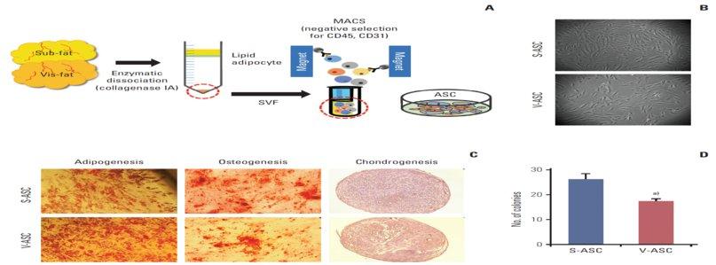 produzione cellule staminali