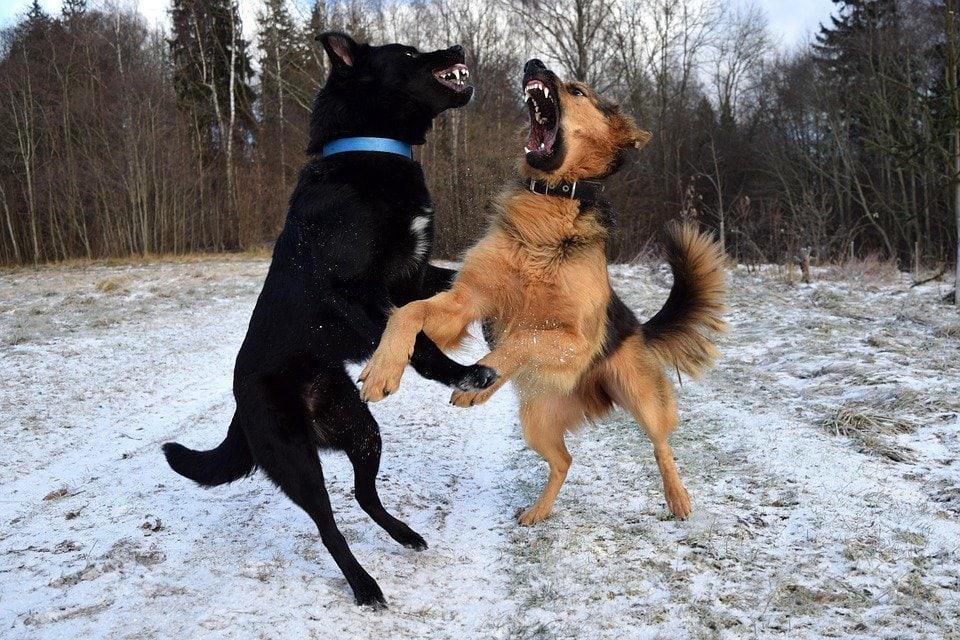 Lotta fra cani