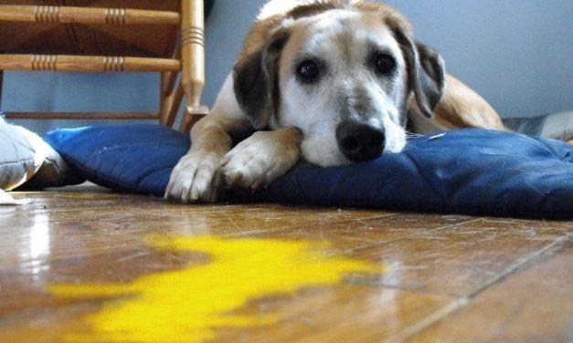 Vomito giallo nel cane: la sindrome del vomito biliare.