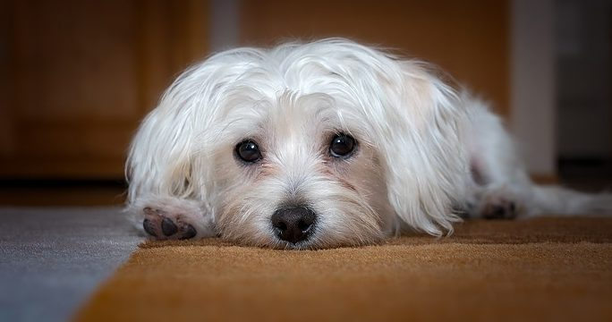 Meningoencefalite nel cane! Parla lo specialista!