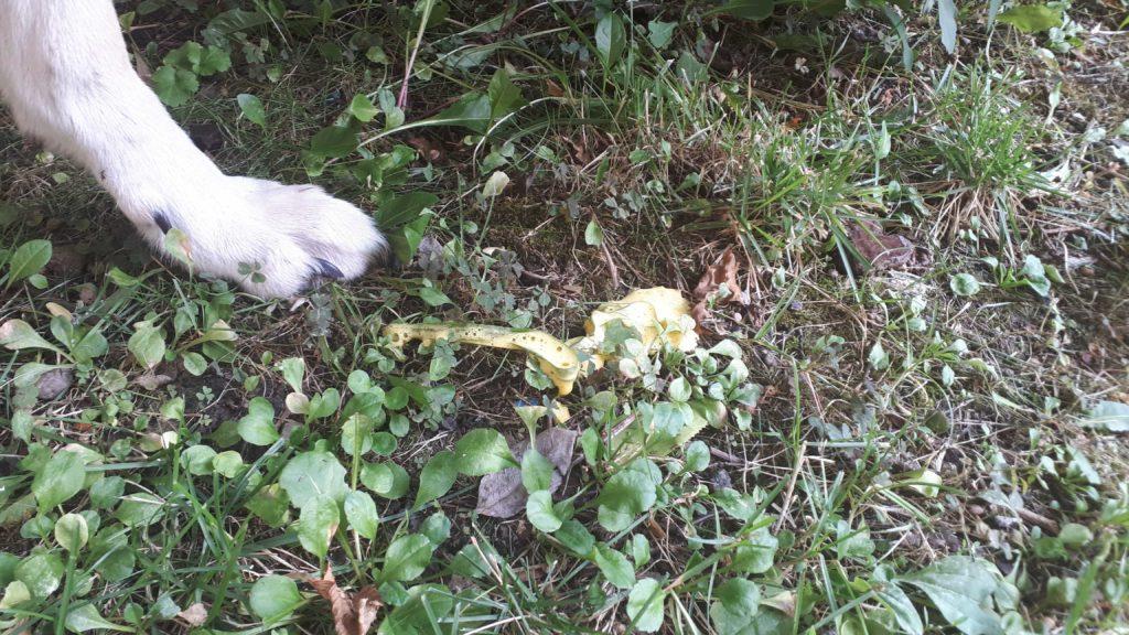 vomito giallo nel cane