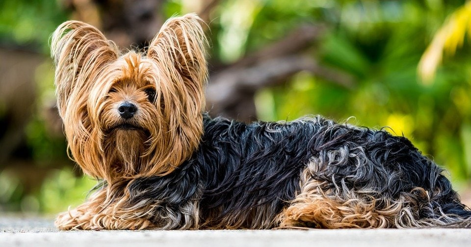 Yorkshire terrier, altra razza predisposta alla meningoencefalite nel cane