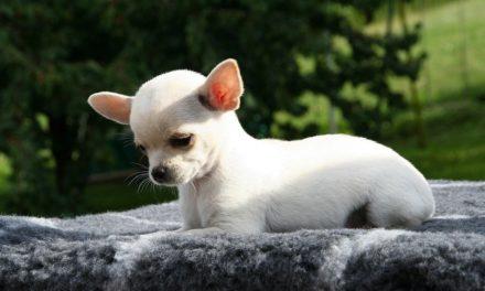Idrocefalo nel cane: il chihuahua è il più predisposto!