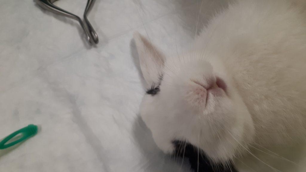 Sterilizzare la coniglia