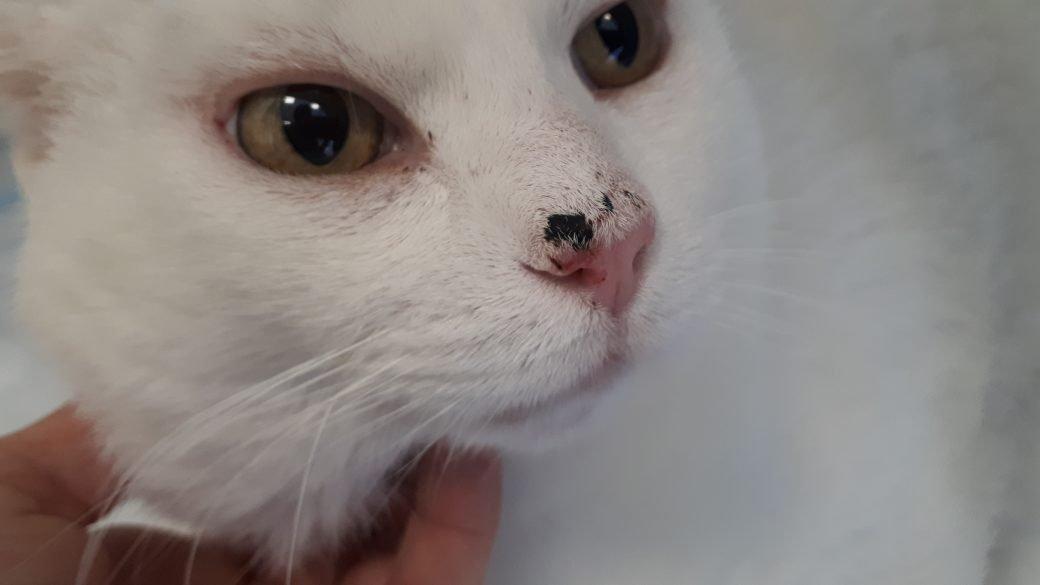 Carcinoma Squamocellulare Il Tumore Del Gatto Bianco Amica