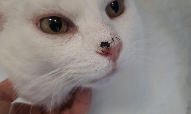 Carcinoma squamocellulare nel gatto: guarire si può!