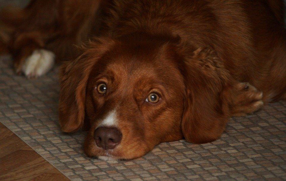 Morbo di Addison nel cane: lo stress può essere fatale?