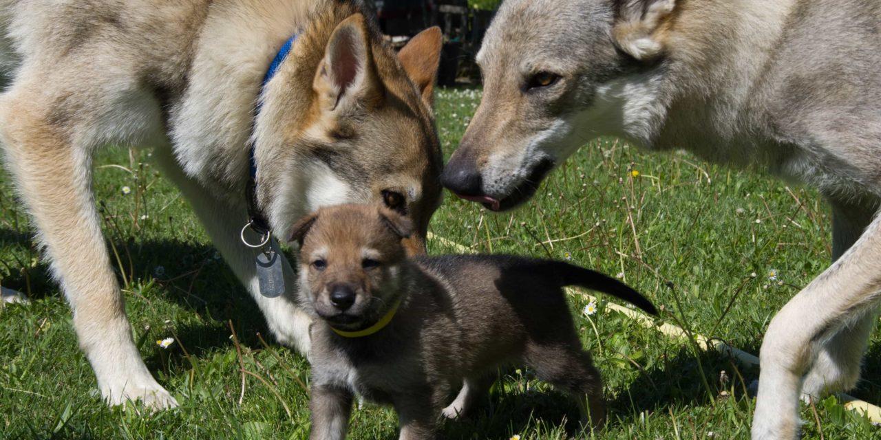 A che età prendere un cucciolo? Quando farlo uscire la prima volta?