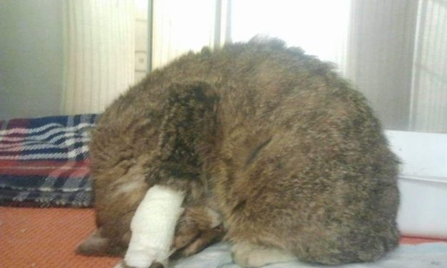 Come riconoscere il dolore nel gatto: 10 sintomi.