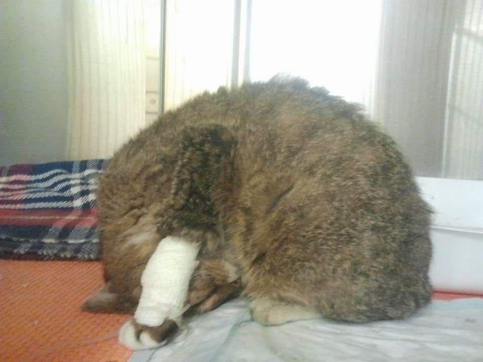 valutazione dolorosa nel gatto