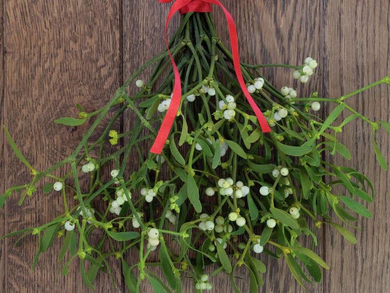 La Stella Di Natale E Velenosa.Tossicita Della Stella Di Natale Vischio E Agrifoglio Amica