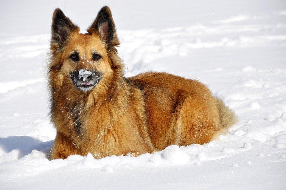 Cane che ama la neve.