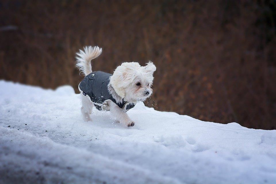 Questo cane ha bisogno del cappottino a basse temperature per essere protetto dalla neve.