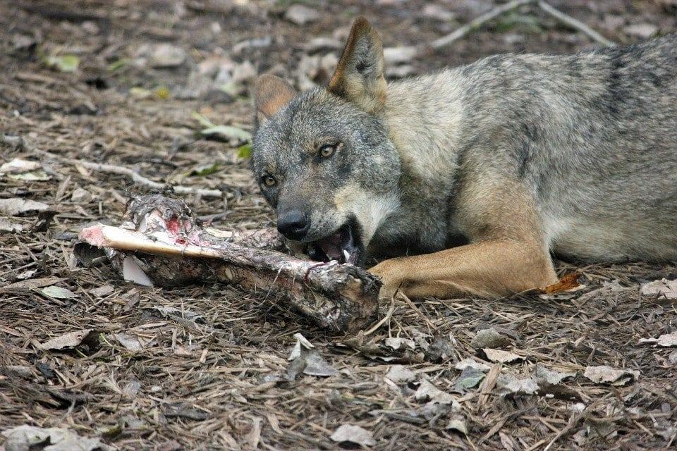 La barf del lupo
