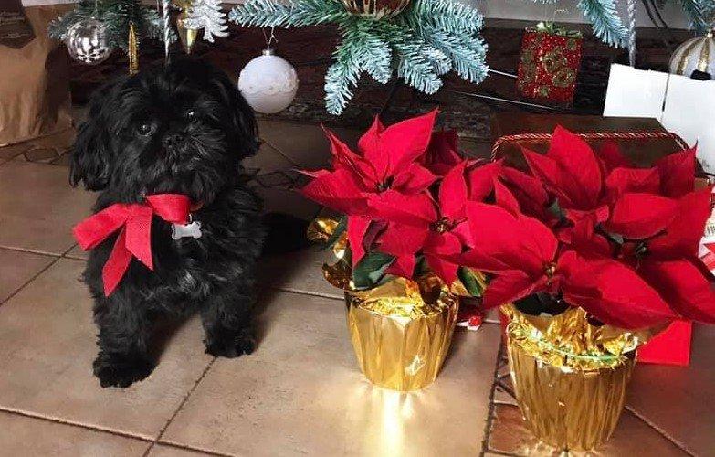 Tossicità della Stella di Natale, Vischio e Agrifoglio!