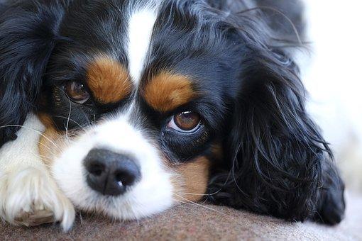 Idrosiringomielia del cane (Sindrome di Chiari nel Cavalier King Charles Spaniel).