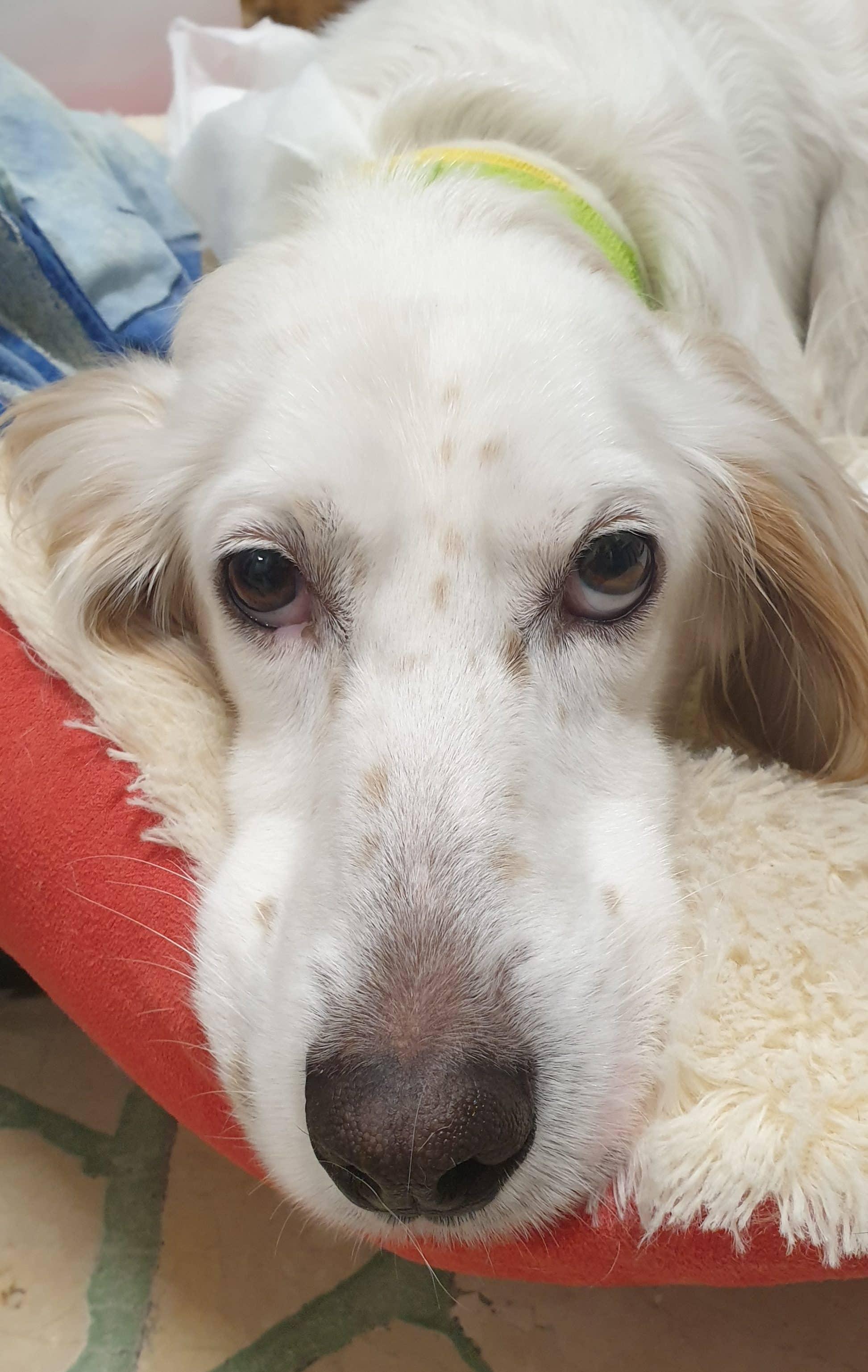 Discospondilite nel cane: un percorso lunghissimo…