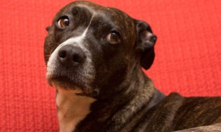Atassia nel cane e abiotrofia cerebellare nell'Amstaff.