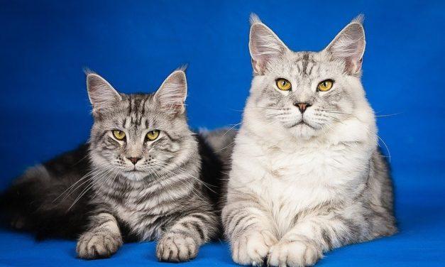 Cardiomiopatia ipertrofica del gatto: sintomi e terapia.