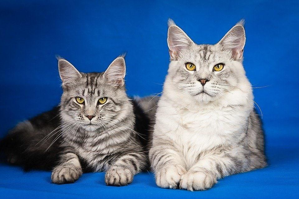 Cardiomiopatia ipertrofica del gatto!