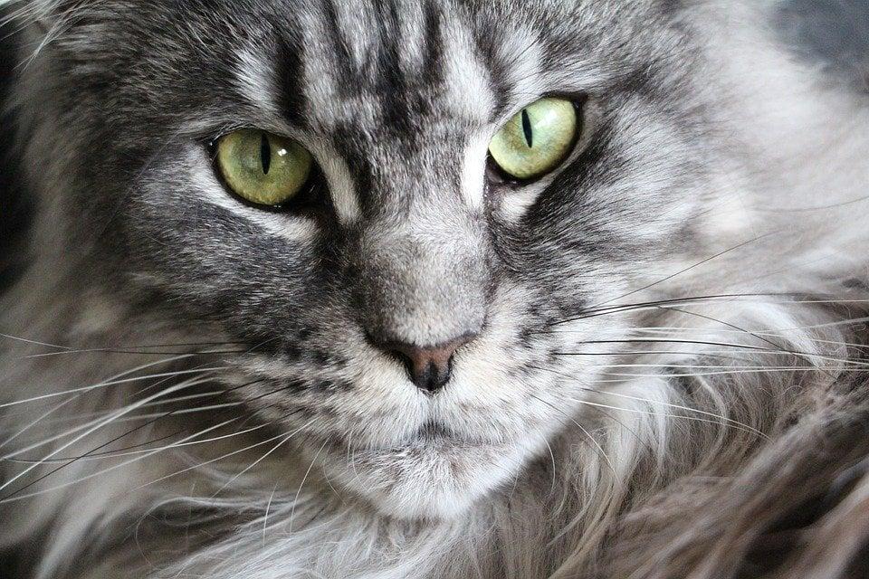 Maine coon tipicamente predisposto per la cardiomiopatia ipertrofica del gatto